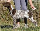 pui brac german - deutsch kurzhaar - german shorthaired pointer