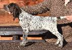 Deutsch Kurzhaar German Shorthaired Pointer Puppies