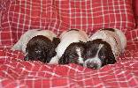Deutsch Kurzhaar Puppies