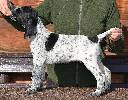 Deutsch Kurzhaar German Shorthaired Pointer puppy