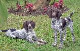 Deutsch Kurzhaar, German Shorthaired Pointer, Braque Allemand